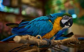 Picture background, bird, branch, parrot, bokeh, Ara