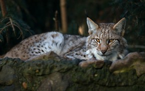 Picture look, face, branches, nature, the dark background, stones, background, stay, portrait, lies, lynx, wild cat, …