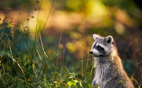 Picture summer, grass, nature, glade, raccoon, face, stand, bokeh, Peeps
