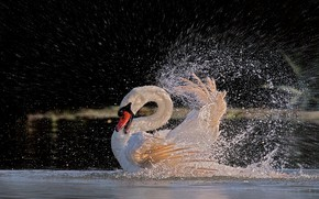 Picture water, squirt, bird, feathers, bathing, Swan