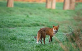 Picture field, grass, nature, Rosa, posts, Fox, red, walk, green background