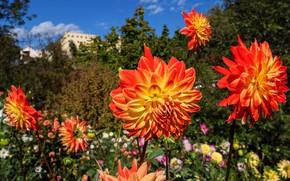 Picture flowers, orange, garden, bright, the bushes, dahlias, bokeh, greens, summer