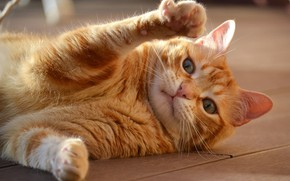 Picture cat, paws, red, muzzle, cat