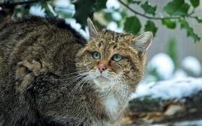 Picture winter, cat, look, leaves, snow, portrait, branch, spring, wild, forest, wild cat, European
