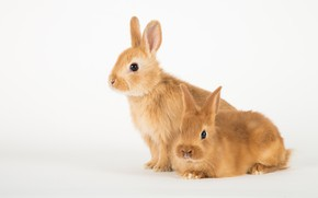 Picture pose, rabbit, rabbits, white background, red, a couple, Bunny, two, bunnies, rabbits, leverets