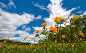 Picture greens, field, summer, the sky, clouds, trees, flowers, blue, meadow, orange, globeflowers, flowering meadow