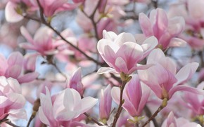 Picture flowers, branches, spring, flowering, Magnolia