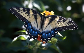 Picture butterfly, wings, beauty, swallowtail