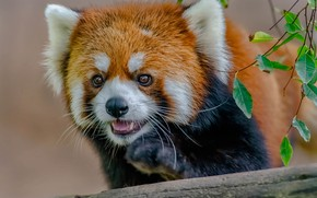 Picture look, face, leaves, branches, red Panda, red Panda