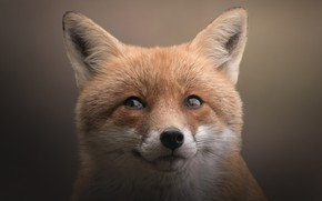 Picture look, face, close-up, nature, pose, portrait, Fox, red, looking up