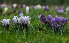Picture flowers, spring, crocuses, flowering