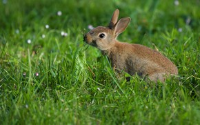 Picture grass, rabbit, rodent