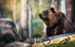 Picture look, face, light, branches, nature, pose, stone, portrait, bear, bear, log, sitting, brown