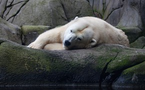 Picture white, look, face, pose, stones, stay, bear, bear, lies, polar bear, pond, zoo