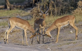 Picture nature, trio, antelope, DUELL ©