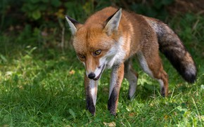 Picture greens, grass, look, face, pose, glade, Fox, red, walk, the expression, sneaks