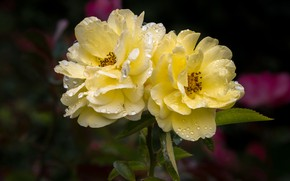 Picture leaves, drops, flowers, droplets, the dark background, roses, yellow, garden, briar, pair, two, water drops, …
