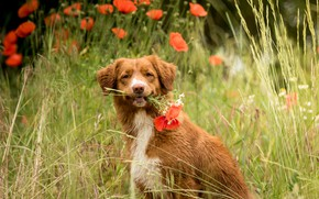 Picture field, summer, look, flowers, glade, Maki, portrait, dog, spikelets, red, a bunch, Retriever, poppy field, …