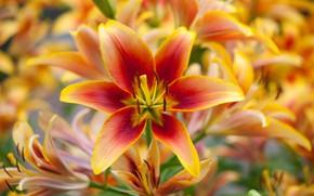 Picture macro, orange, Lily