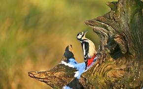 Picture snow, background, tree, bird, stump, woodpecker