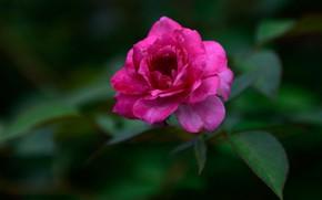 Picture flower, leaves, green, background, pink, dark, rose, garden, Bud, blurred