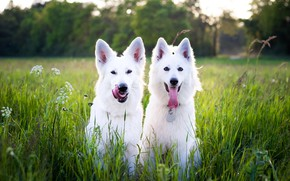 Picture greens, language, dogs, summer, grass, look, nature, pose, together, glade, two, dog, meadow, pair, white, …
