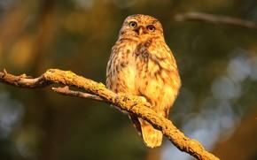 Picture autumn, light, nature, owl, bird, branch, owl, sychik