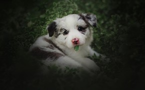 Picture greens, white, summer, look, leaves, dog, baby, puppy, lies, leaf, face, bokeh, spotted, Aussie