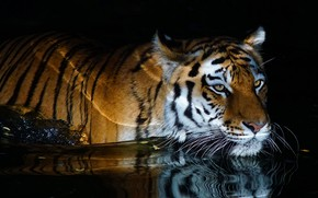 Picture water, tiger, bathing, black background