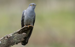 Picture background, bird, cuckoo