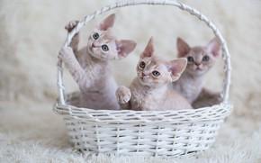 Picture look, kittens, kids, basket, three