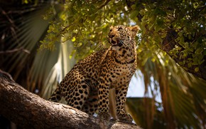 Picture palm trees, leopard, sitting