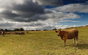 Picture field, cow, cows, pasture, the herd