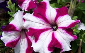 Picture macro, flowers, petunias, Meduzanol ©