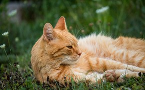 Picture cat, summer, grass, cat, look, face, nature, pose, stay, glade, paws, red, lies, clover, striped, …