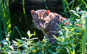 Picture greens, grass, cat, look, face, leaves, light, nature, pose, background, sitting, wild cat, wild cat, …