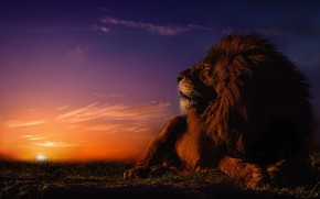 Picture sunset, stay, Leo, mane, the king of beasts, wild cat