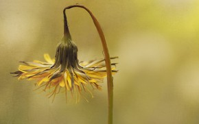 Picture flower, background, dandelion