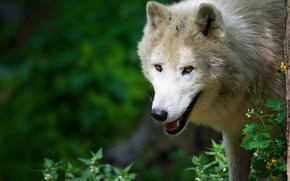 Picture white, look, face, nature, pose, green, background, wolf, portrait, Arctic, polar