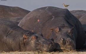 Picture nature, bird, hippos, DUELL ©