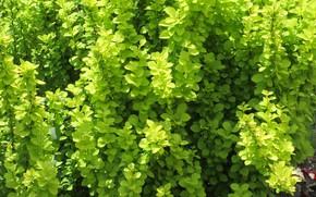Picture Greens, Bush, Texture, Meduzanol ©, Summer 2018