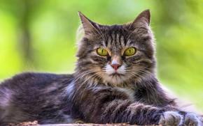 Picture cat, grass, cat, look, portrait, lies
