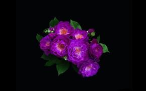 Picture roses, minimalism, bouquet, purple, black background