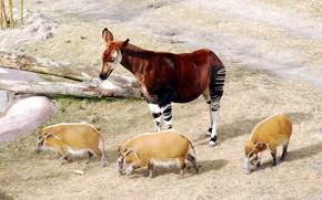Picture animal, giraffes, Africa, Johnston, pigs, pigs, mammal, chord, artiodactyls, hog, Okapia, giraffidae, Okapi, Okapi Johnston, …