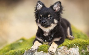 Picture background, stone, moss, dog, doggie, Chihuahua
