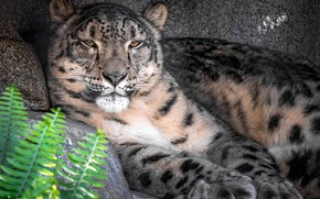 Picture stay, IRBIS, snow leopard