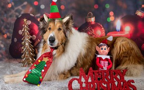 Picture dogs, look, face, pose, dog, Christmas, New year, photoshoot, collie, model, accessories