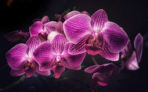 Picture flowers, background, black, Orchid