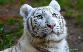 Picture white, look, face, tiger, portrait, tiger