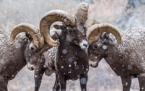Picture winter, look, snow, portrait, three, horns, RAM, trio, friends, snowfall, wild, mountain, muzzle, Trinity, lambs, …